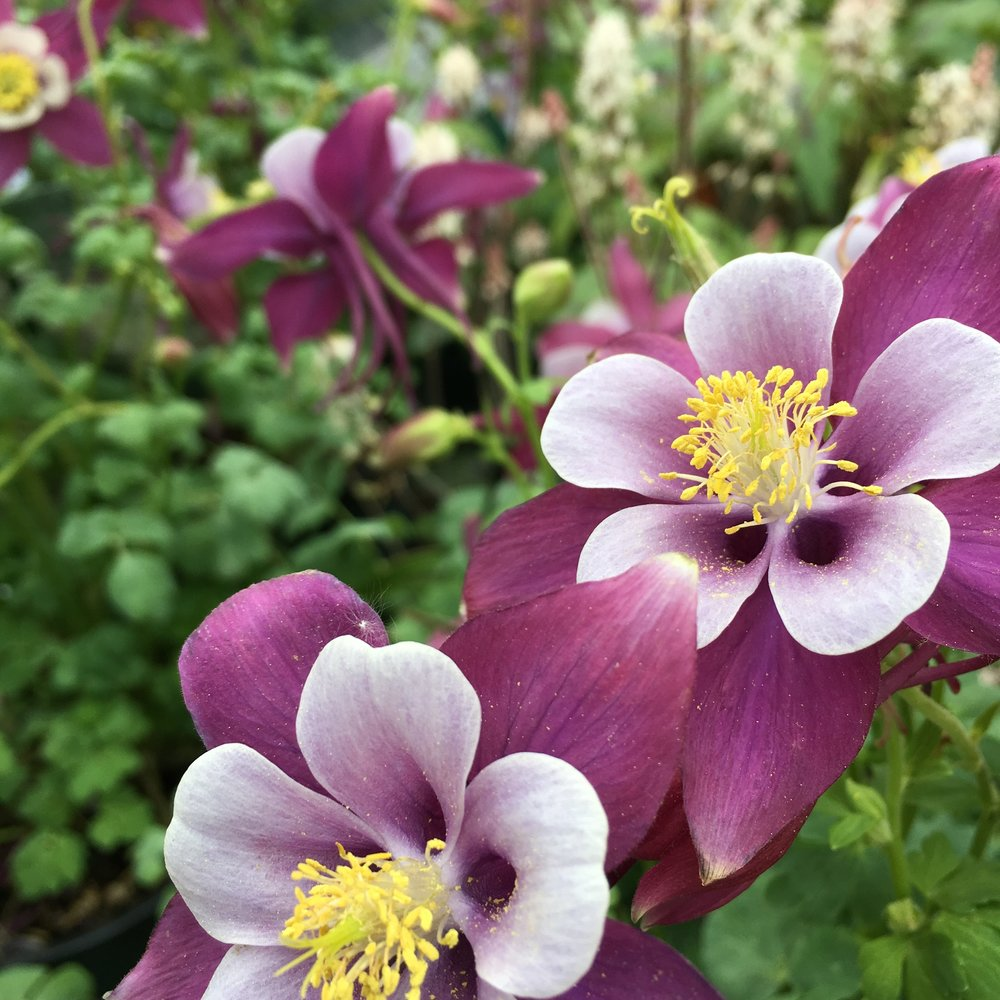 Our Favorite Columbines Spring Blooms Victoria Gardens