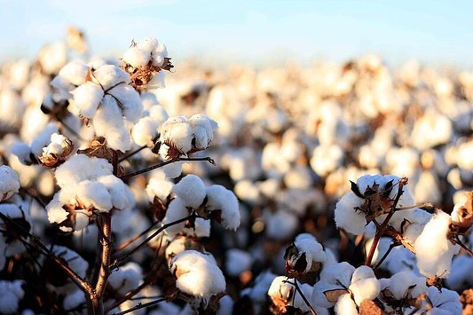 While cotton is one of the most all-round fabric in the world, it's also one of the most polluting ones.  In our workshop in India we use only organic cotton and peace silk, because we not only care for our people, but also our planet.  More info about cotton, link in bio.