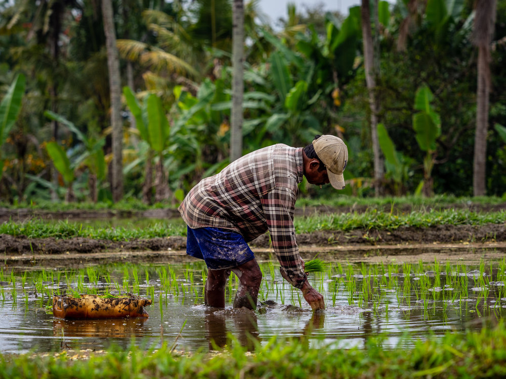 Musings by the Glass - Bali Photo Essay - Rice Field Worker