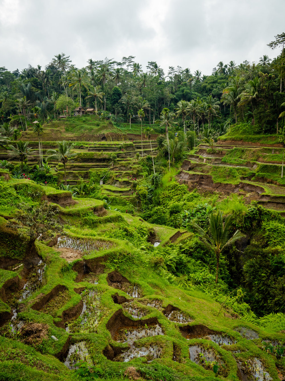 Musings by the Glass - Bali Photo Essay - Rice Terrace