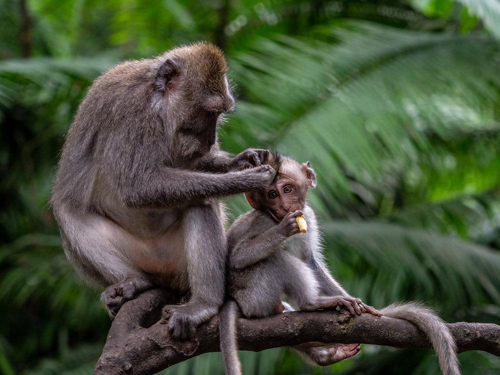 Musings by the Glass - Bali Photo Essay - Monkeys