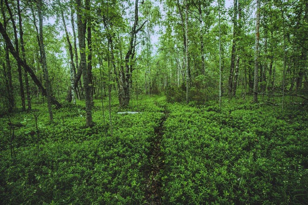 Upeaa metsää saaren keskivaiheilla.
