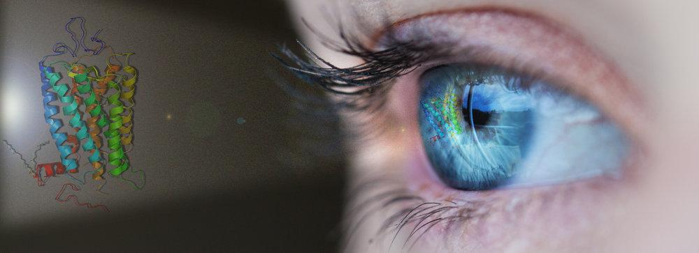 Eye of rhodopsin