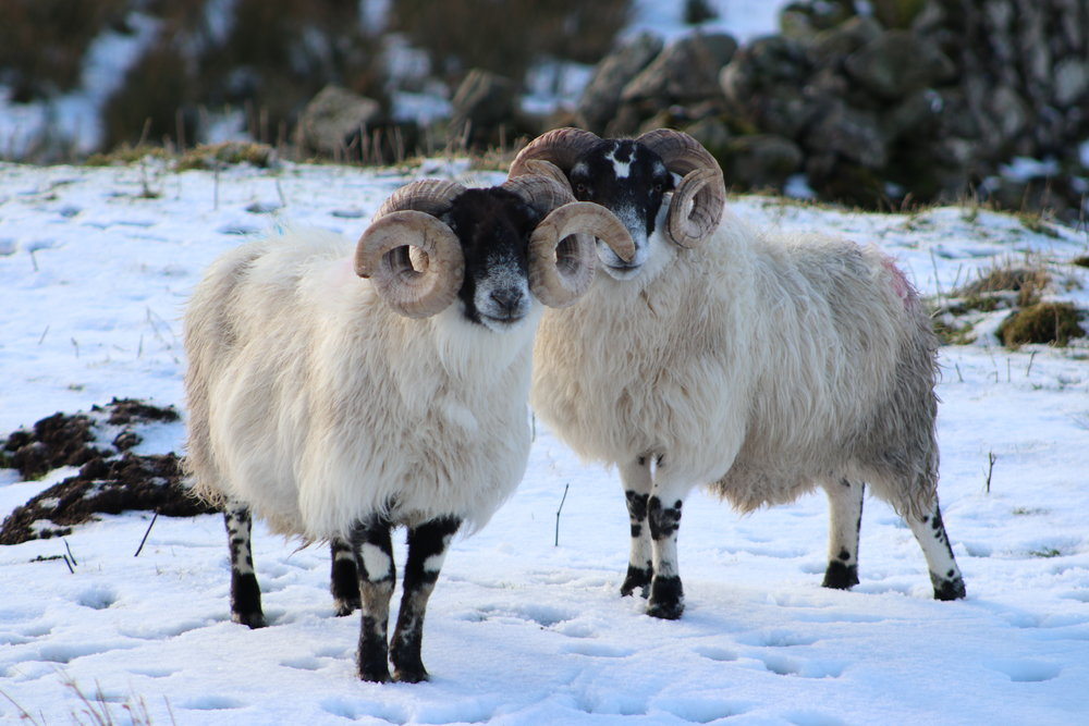 rams in the snow.JPG