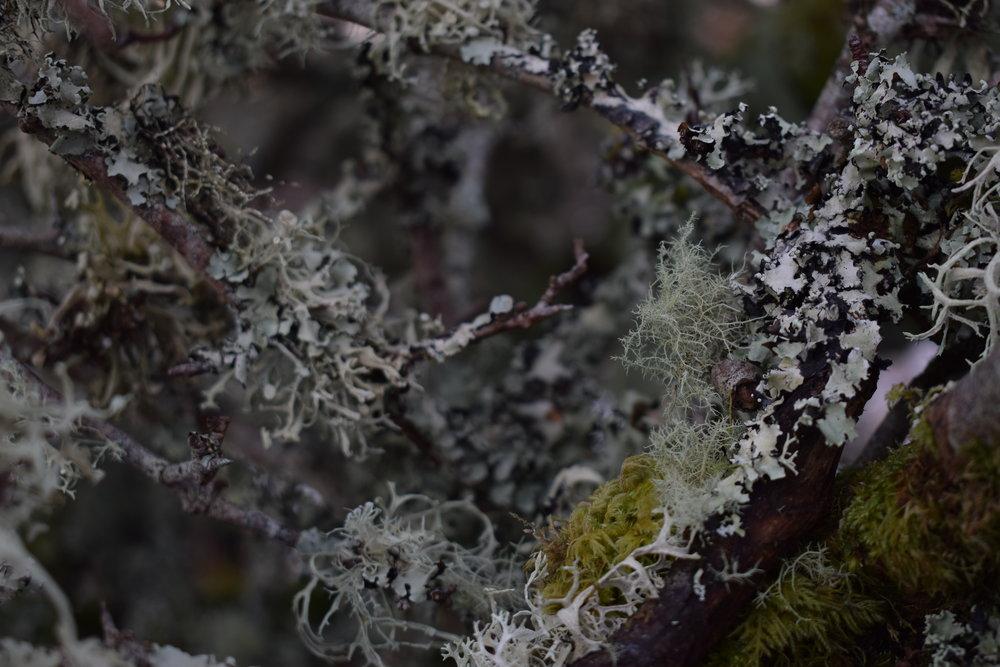 lichen tree.JPG