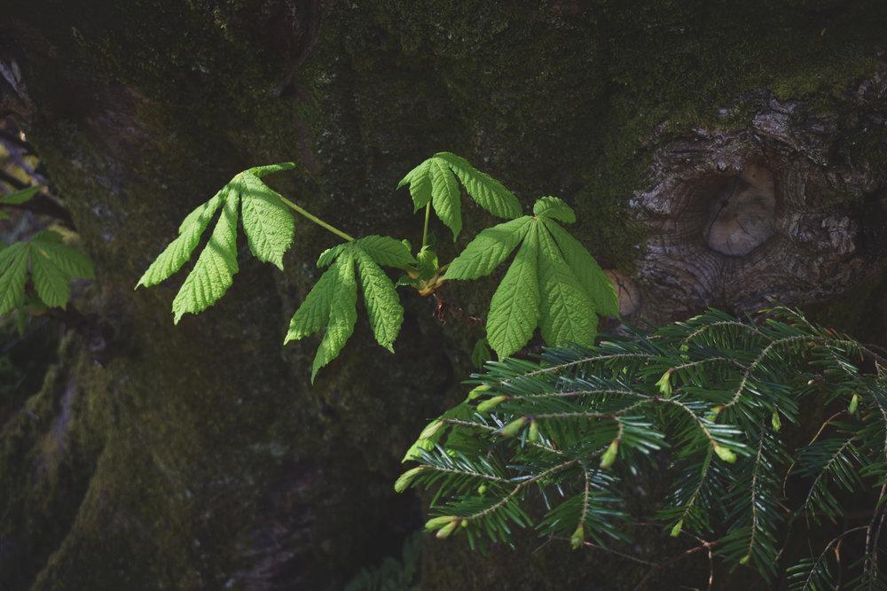 chestnut01.jpg