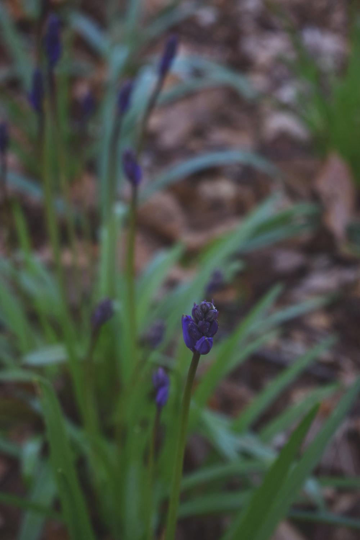 bluebell02.jpg