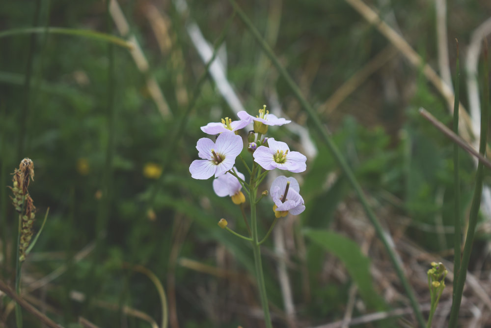 cuckooflower.jpg
