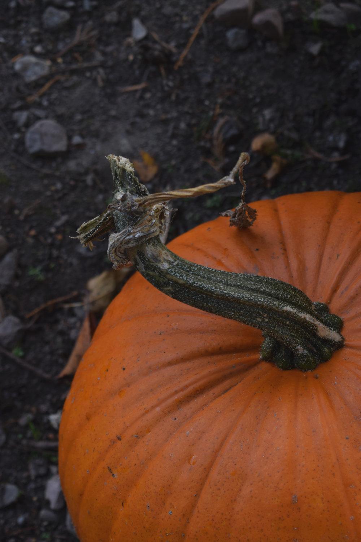 pumpkinr.jpg