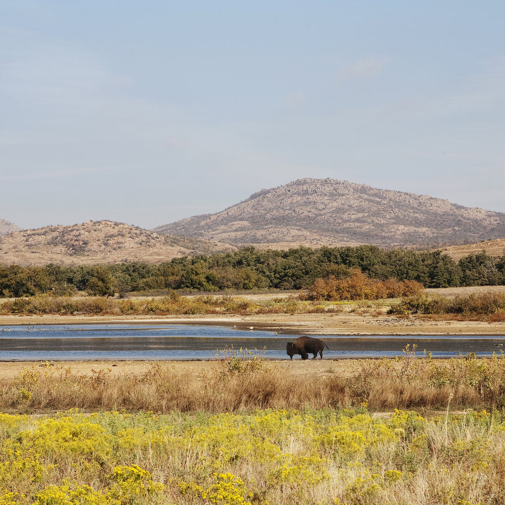 Buffalo, Wichita Mountains, Oklahoma