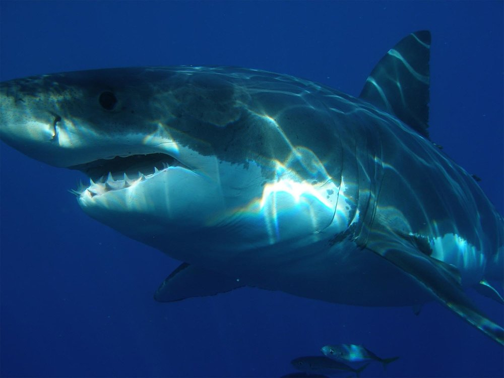 great-white-shark-398276_1920-sm.jpg