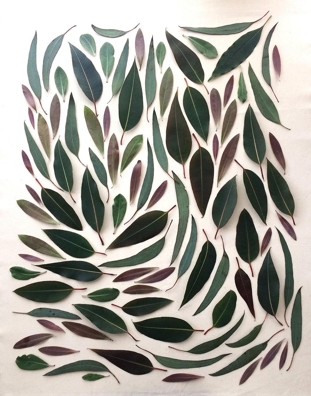 Eucalyptus-I.jpg