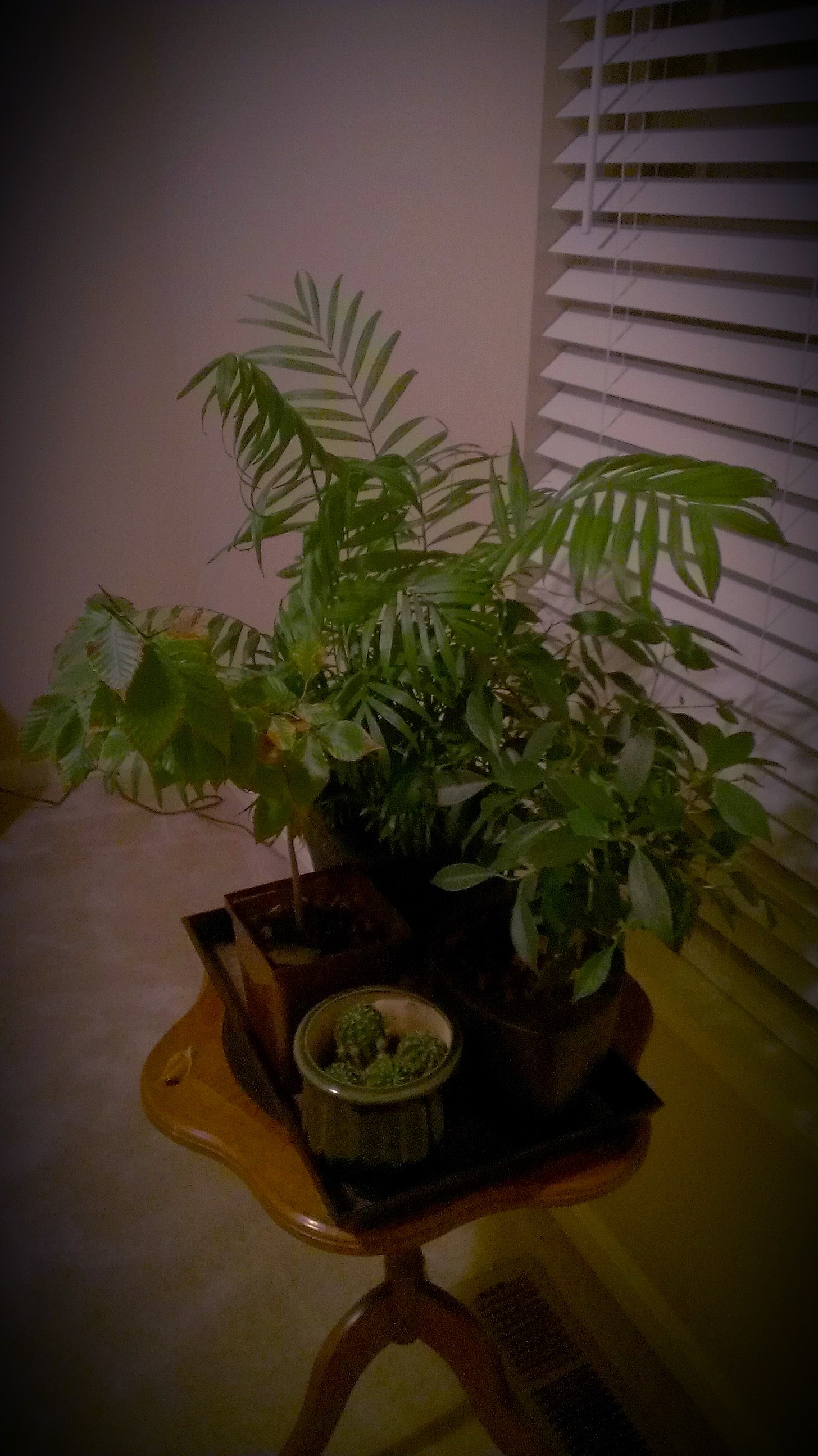 My plants are Cactus, Small Beech tree (left), Bella Palm (Back), and a Ficus tree (right).