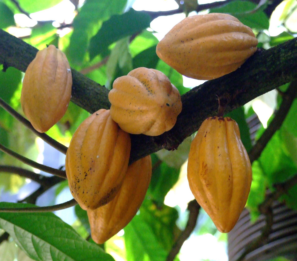 Cacao Plant. That's more like it!