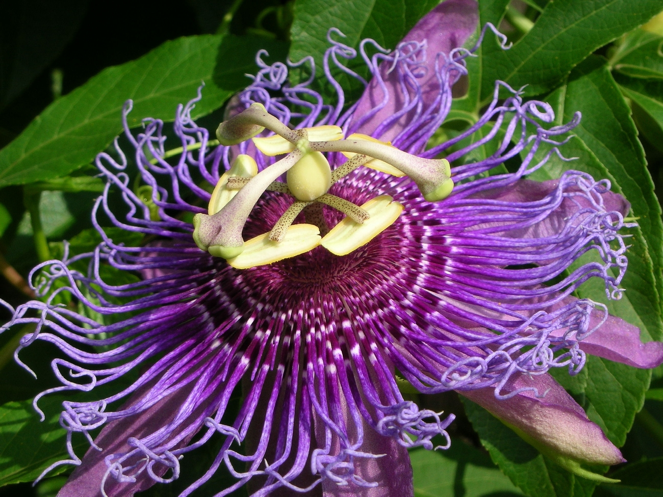 Passionflower is one of the most potent flowers for increasing a sense of calm. Read more at Notjustpaleo.com