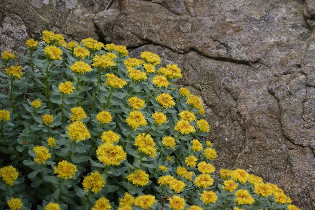 Rhodiola Benefits: Stress Relief, Mood Boost and Exercise Performance