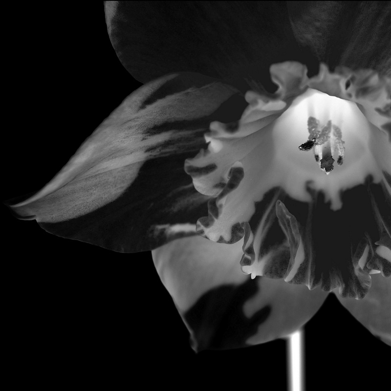 glen_johnston_photography_flora_daffodil.jpg