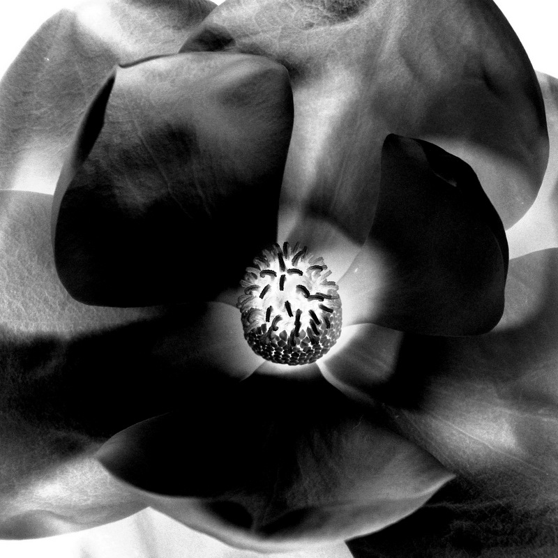 glen_johnston_photography_flora_magnolia.jpg