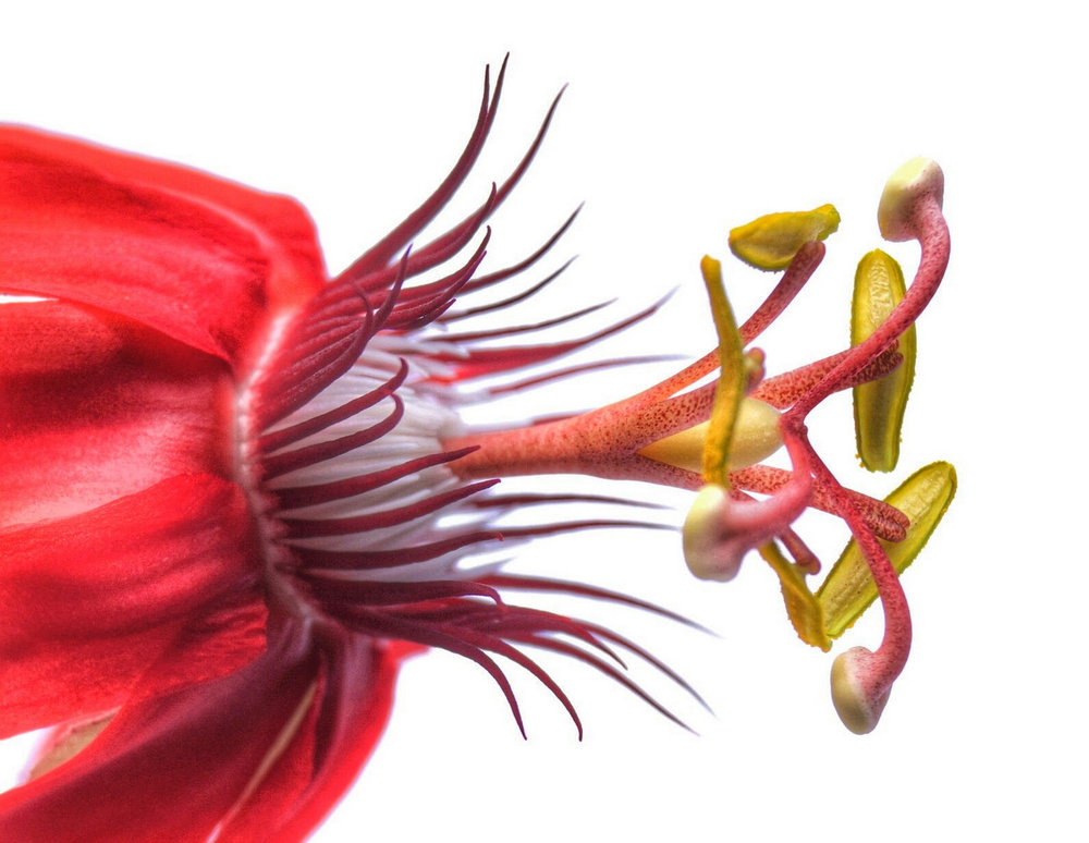 glen_johnston_photography_passion_flower_red
