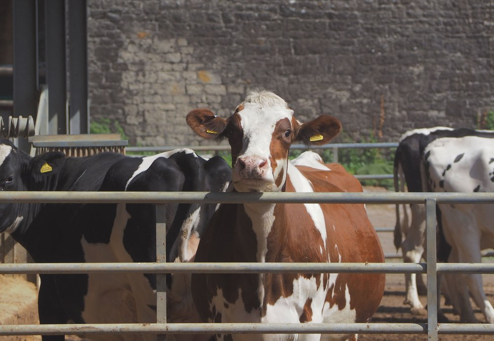 Longmoor Red and White Holsteins