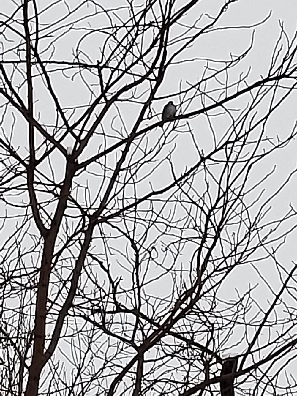 Winter bird against a grey sky.