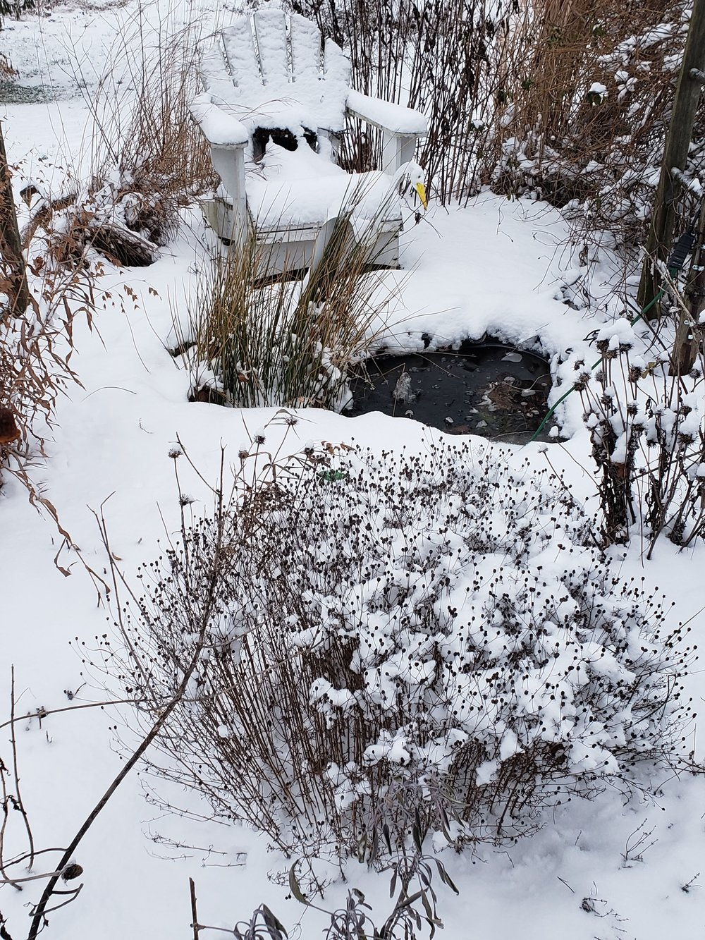 The pond garden in winter. The tickseed is the poofy one.
