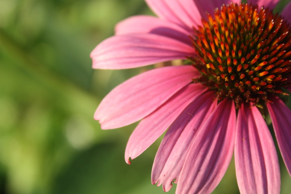 Coneflower in our front gardens.