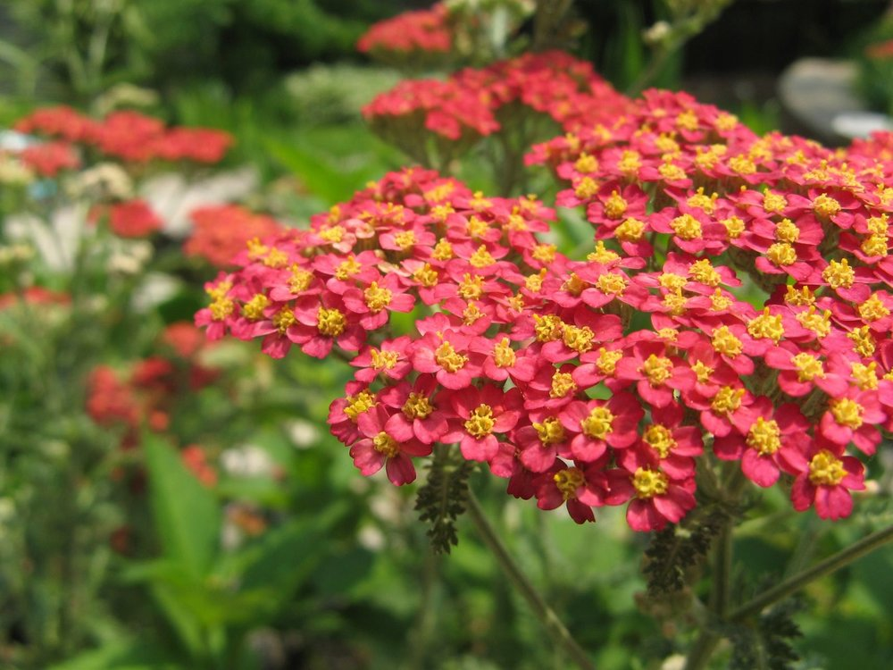 The Scourging at the Pillar - Common Name: YarrowBotanical Name: Achillea millefoliumMary Garden Name: Christ's Bloody BackThe flat, red clusters of Yarrow flowers symbolize the bloody lashes on Christ's back after His scourging at the pillar.Photo: Wikimedia