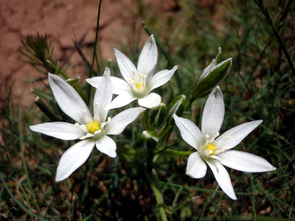 The Nativity - Common Name: Grass LilyBotanical Name: Ornithogalum umbellatumMary Garden Name: Star-of-BethlehemBlooms in early springLegend tells us that the star that led the three wise men to Bethlehem stopped at its destination and burst into thousands of fragments, which turned to flowers when they touched the earth.Photo: Wikimedia