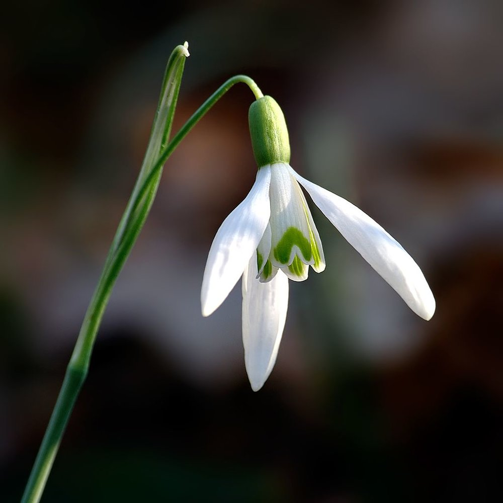 The Presentation - Common Name: SnowdropsBotanical Name: Galanthus nivalisMary Garden Name: Candlemas BellsPhoto: Wikimedia