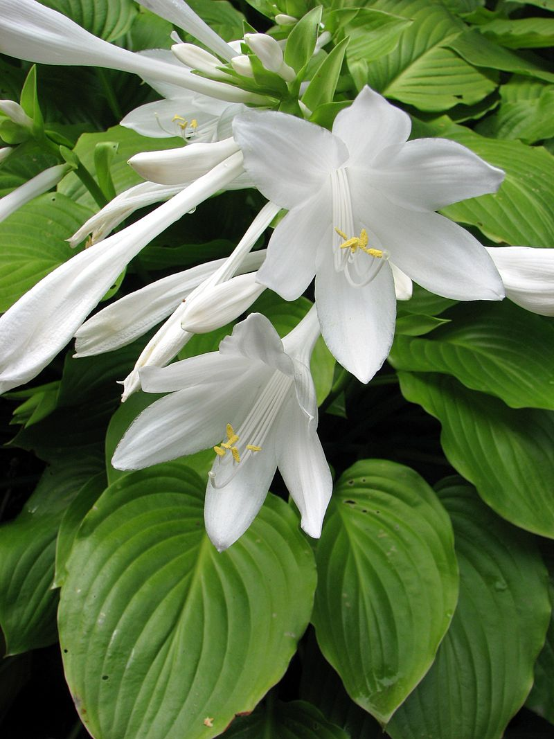 The Assumption of Our Lady - Common Name: Plantain LilyBotanical Name: Hosta plantagineaMary Garden Name: Assumption LilyThe white lily represents the purity of Our Lady, who was taken to Heaven, body and soul, to be with her Son.Photo: Wikimedia