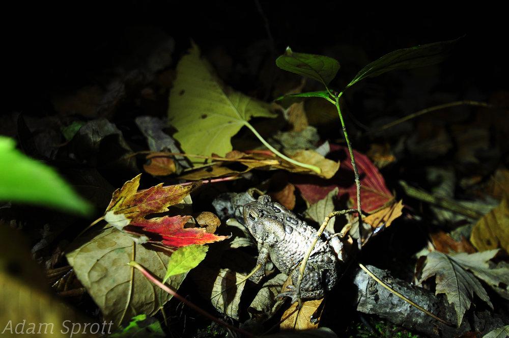 American Toad - Anaxyrus americanus.jpg