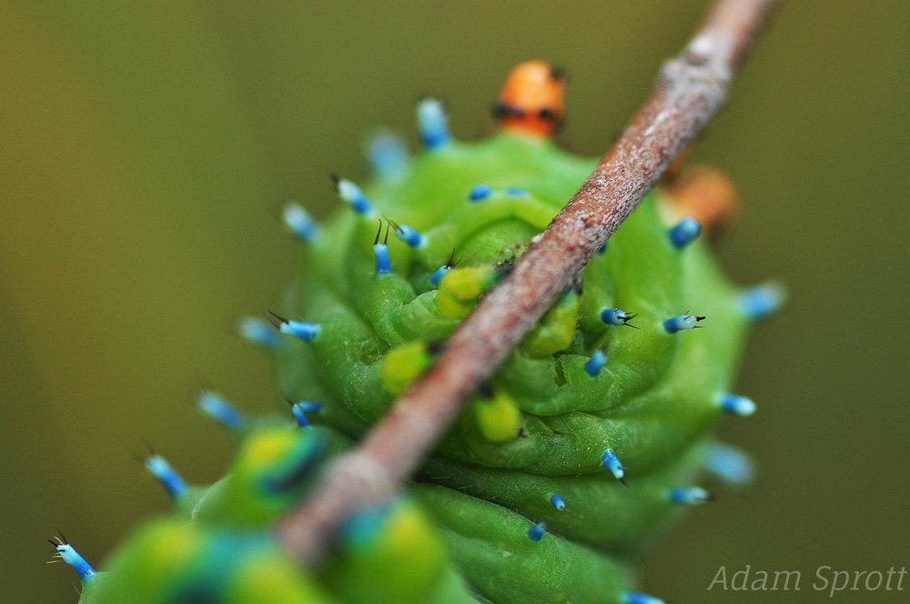 Cecropia Moth - Hyalophora cecropia - 5th instar.jpg