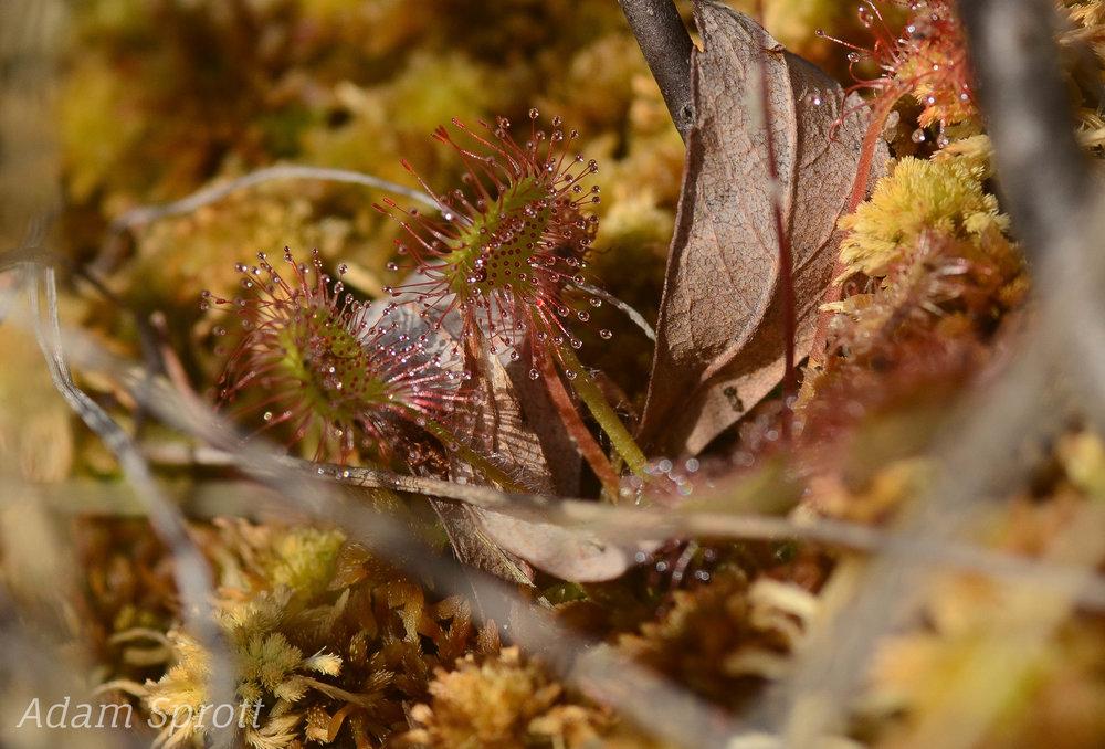 Drosera rotundifolia.jpg
