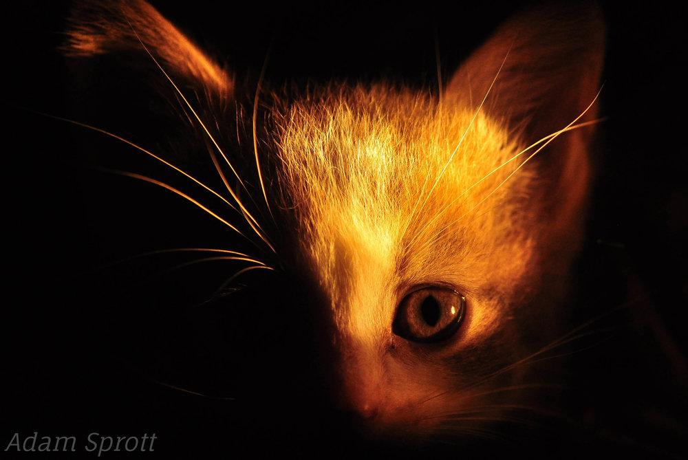 Felis catus - Maine Coon Cat.jpg