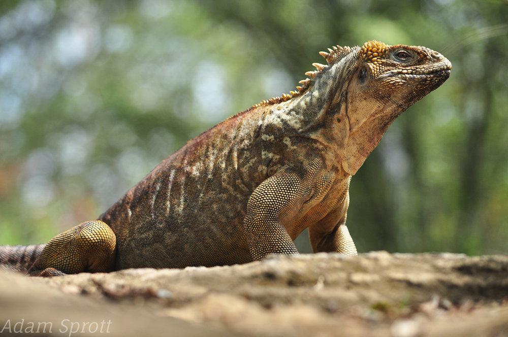 Land Iguana - Conolophus subcristatus.jpg