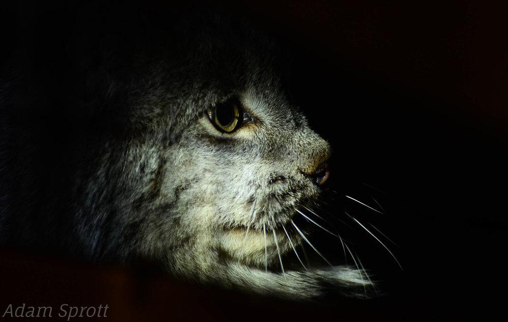 Lynx canadensis - 'Mad Max'.jpg