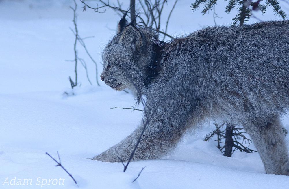 Lynx canadensis - 'Dan' from Right (1).jpg