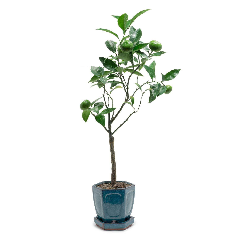 Tangerine Bonsai Tree Loulou