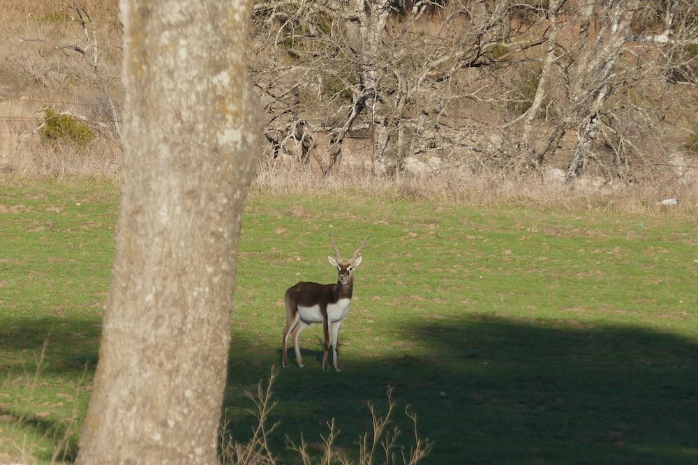 African antelope 4.jpg