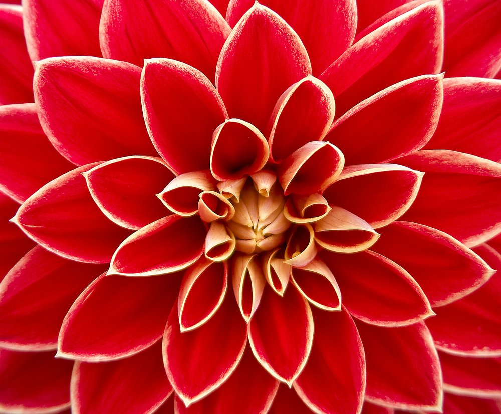 dahlia-dahlias-autumn-asteraceae-65940.jpeg