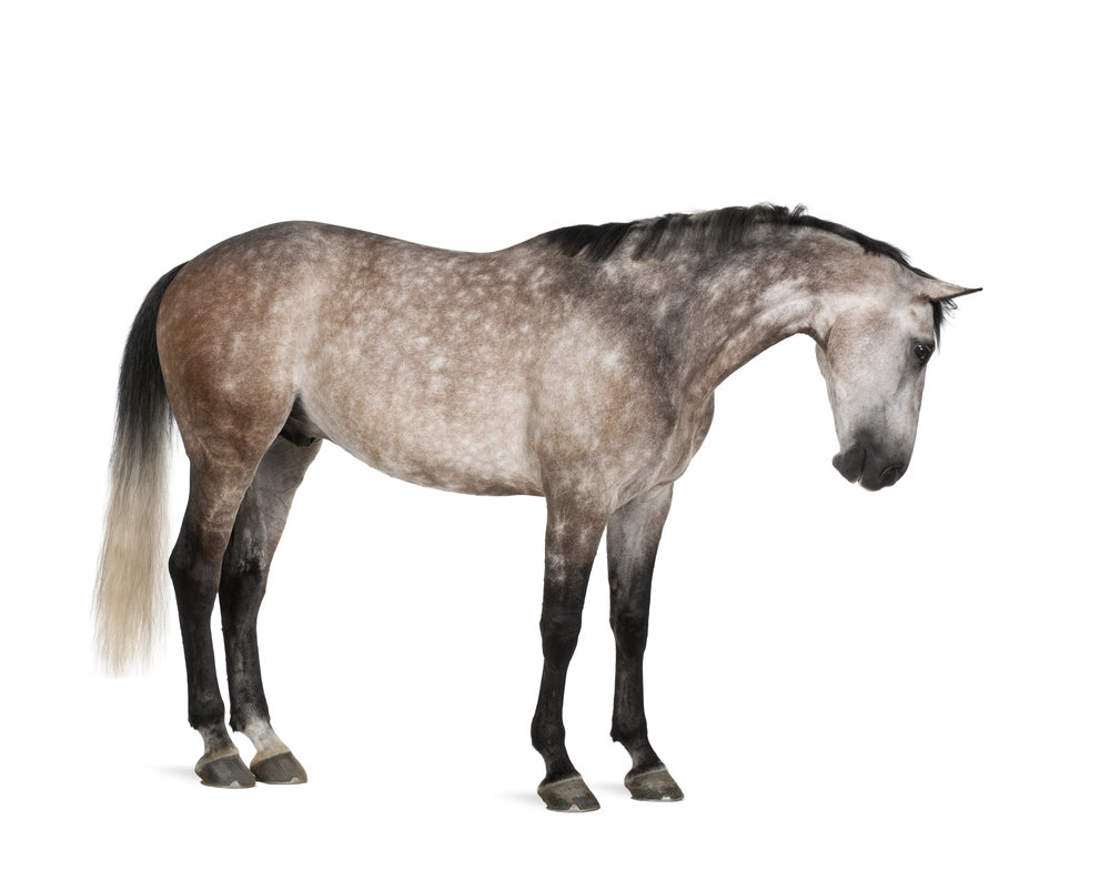 photodune-2712658-belgian-warmblood-horse-6-years-old-standing-against-white-background-xl.jpg