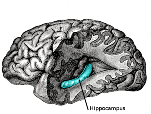 The hippocampus, the most studied area of the brain associated with memory.