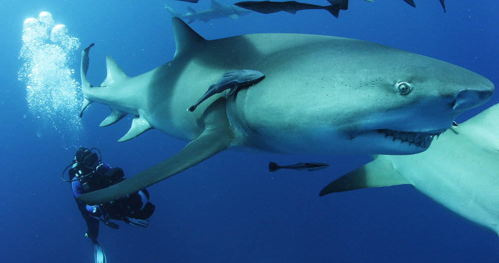 Rob Stewart filming one of his finny friends in Sharkwater Extinction