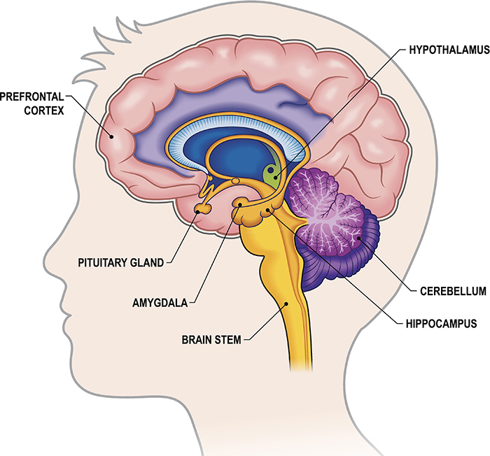 The Limbic System and Brain Stem