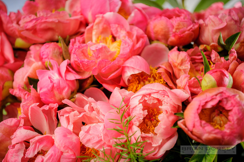 Coral peony close-up
