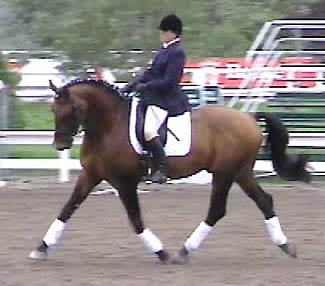 GOYA DE LULLY - 1992 16.3 H SWISS WARMBLOOD STALLION