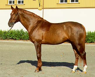 COKA CH - 1987 171 cm Swiss Warmblood stallion035.1987.1268