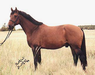 Goya De Lully CH - 1992 16.3 H Swiss Warmblood Stallion
