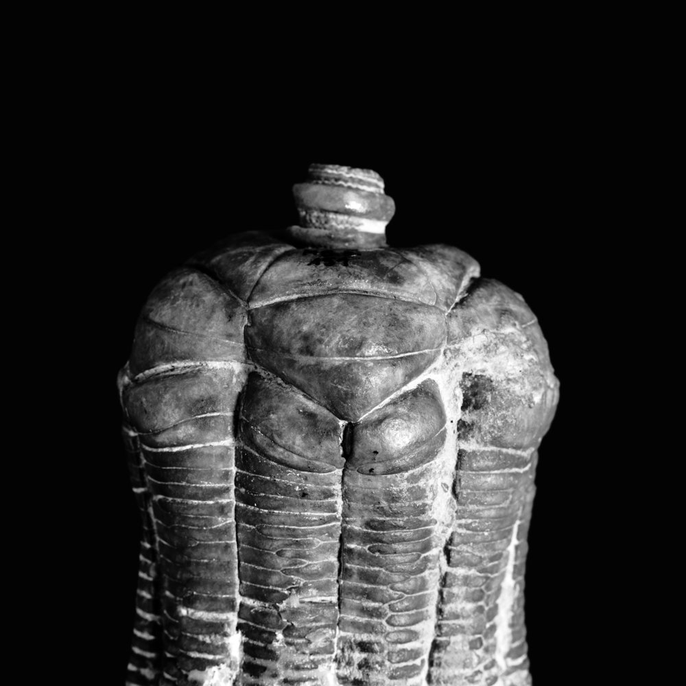 Encrinus liliiforms, Oberer Muschelkalk, Elm bei Braunschweig